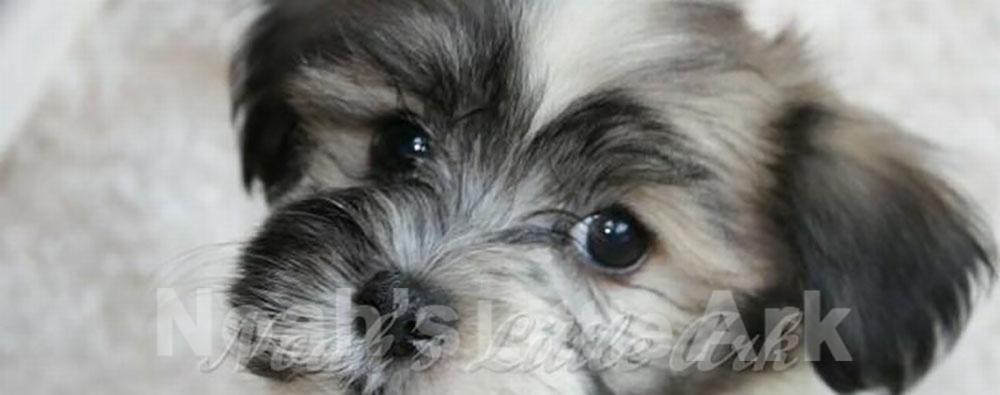 Cute Havanese puppy